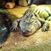 Mother found her three years-old-son playing with crocodile in the living room of her house