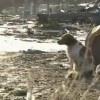 Japanese Dog Refused to Leave Behind Injured Friend (VIDEO)
